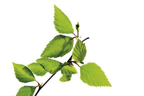 Birch leaves, close-up - 06947CS-U