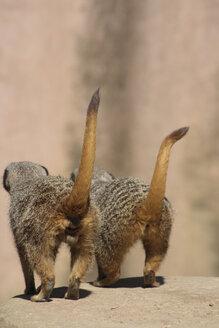 Two meerkats, rear view - TLF00151