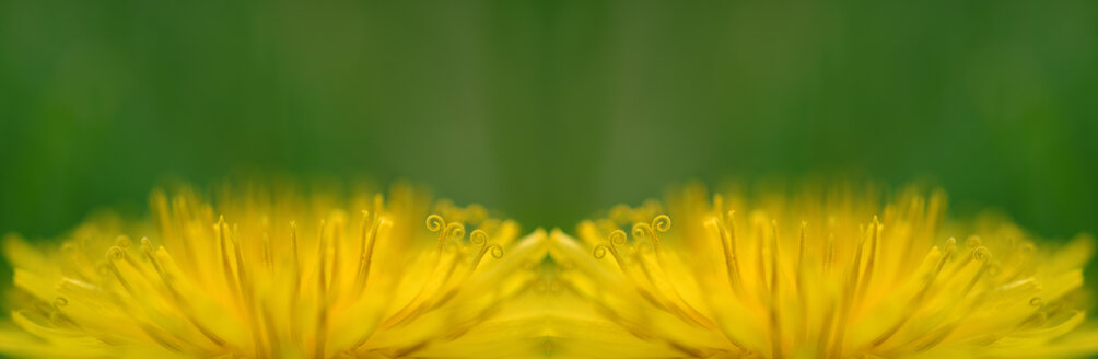 Dandelion, close-up - SM00147