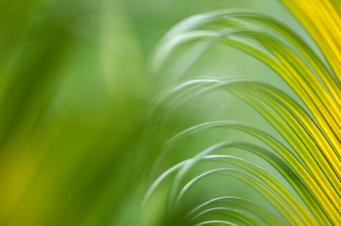 King Sago Palm,Cycas revoluta,  close-up - SMF00176