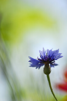 Cornflower, close-up - SMF00167