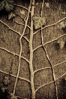 Ivy leaves on tree trunk, close-up - DW00129