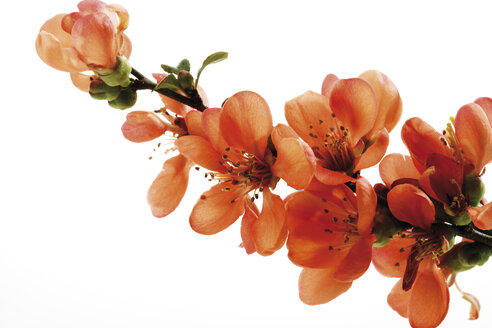 Blossoms of flowering quince (Chaenomeles), close-up - 07003CS-U