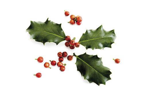 Holly twig (Ilex aquifolium), close-up - 07039CS-U
