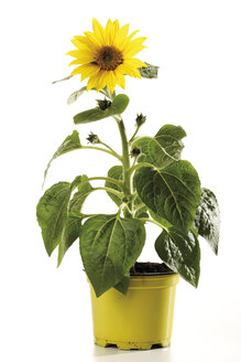 Potted sunflower, close-up - 07247CS-U