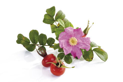Blossom of dog rose with rose hips, close-up - 07723CS-U