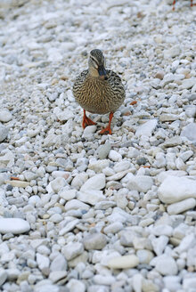 Italy, Lake Garda, Duck, close-up - DKF00129