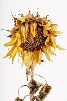Wilted sunflower (Helianthus annuus) - 00353LR-U