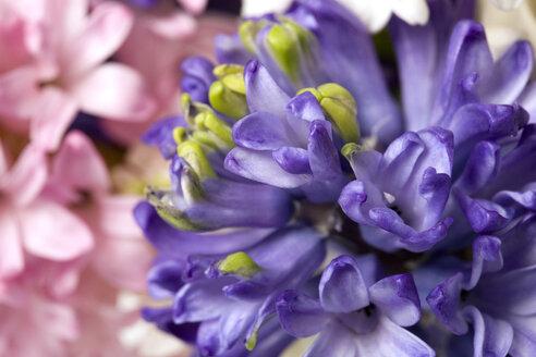 Hyacinth blossoms (Hyacinthus), full frame - MNF00141