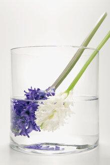 Hyacinths in flower vase, (Hyacinthus) - MNF00135