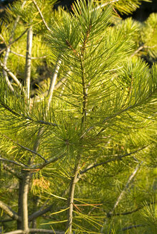 Mountain Pine, Pinus mugo, close-up - MUF00081