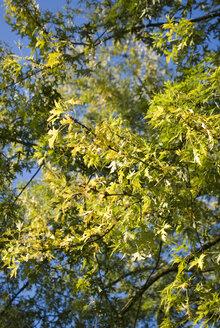 Florida Maple, Acer barbarum, close-up - MUF00077
