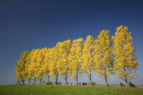 Germany, Bavaria, Row of aspen trees (Populus tremula) - EKF00937