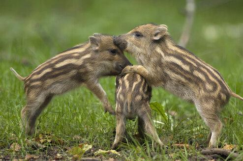 Young Wild boars (Sus scorfa) - EKF00903