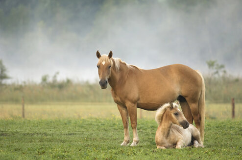 Haflinger horse and foal standing in pasture - EKF00900