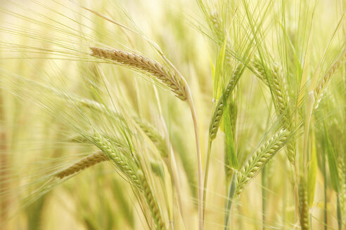 Barley (Hordeum vulgare), panicles, close up - RDF00288