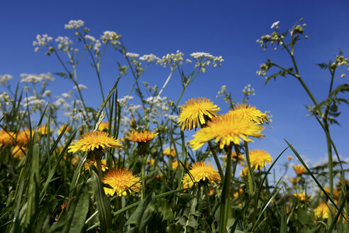 Dandelions (Taraxacum) abloom - RDF00276