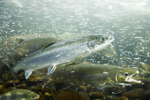 Atlantic Salmons in a river - GWF00553