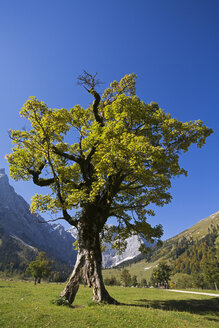 Austria, Tirol, Karwendel, Field maple tree - FOF00614