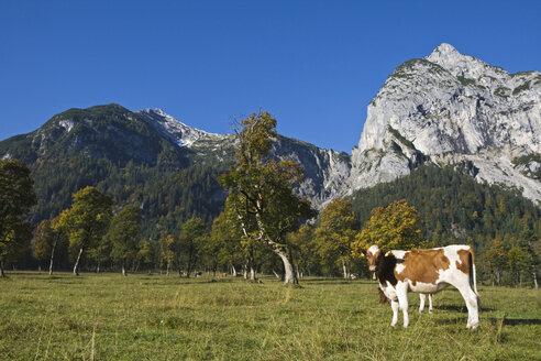 Austria, Tirol, Karwendel, Cows on meadow - FOF00593
