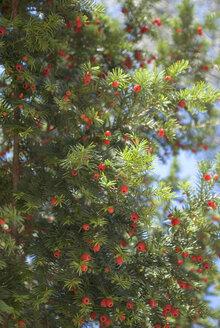 Berries on tree - MU00382
