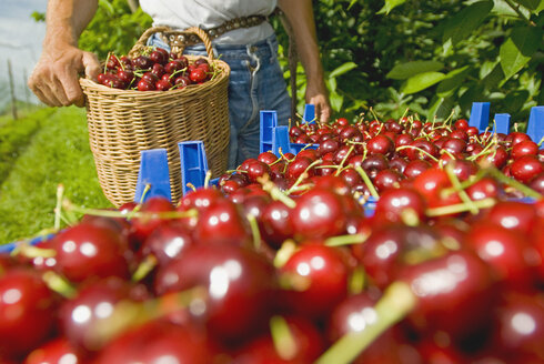 Cherry harvest, close up - SHF00218