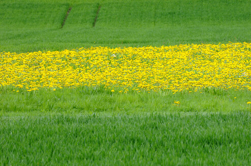 Dandelions (Taraxacum) in meadow - SMF00335