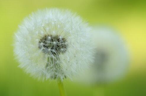 Dandelion (Taraxacum officinale), close-up - SMF00332