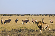 Africa, Botswana, African Lion (Panthera leo) in background Gemsbok (Oryx gazella) herd - FOF00727