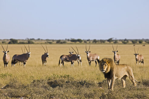 Africa, Botswana, African Lion (Panthera leo) in background Gemsbok (Oryx gazella) herd - FOF00727