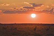 Africa, Botswana, Silhouette of Springbok Herd (Antidorcas marsupialis) - FOF00706