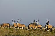 Africa, Botswana, Gemsbok herd (Oryx gazella) - FOF00703