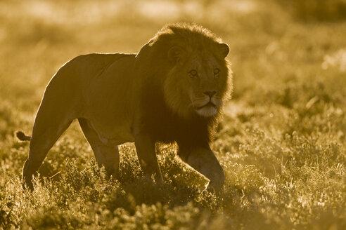 Africa, Botswana, Adult male lion (Panthera leo) - FOF00700