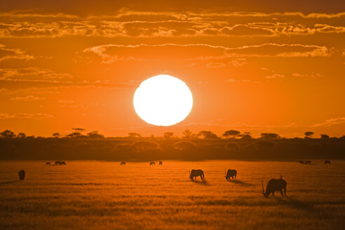 Africa, Botswana, Silhouette of gemsbok herd (Oryx gazella) at sunset - FOF00697