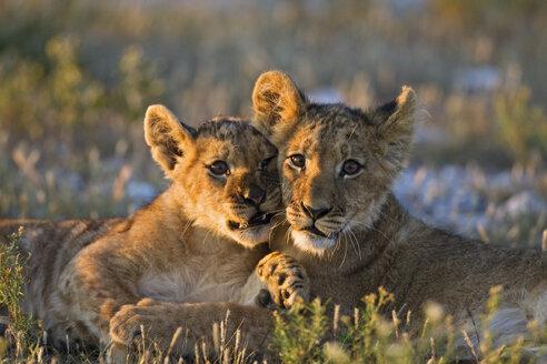Africa, Botswana, Two lion cubs (Panthera leo) - FOF00685