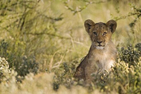 Africa, Botswana, African Lion cub (Panthera Leo) - FOF00667