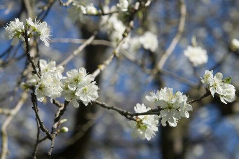 Germany, Bavaria, Apple blossom, close-up - LFF00142