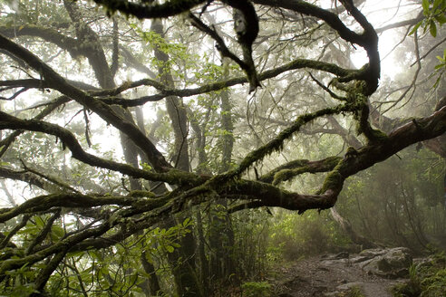 Portugal, Madeira, Misty forest - GAF00047