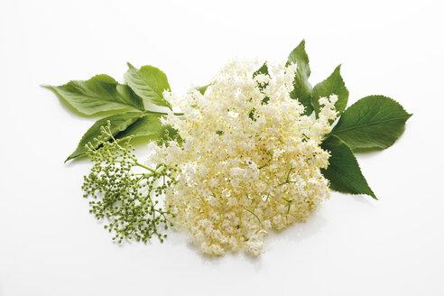 Elderflowers ( (Sambucus), close-up - 08690CS-U