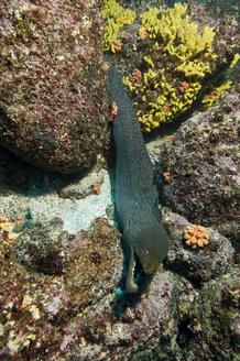 Galapagos Islands, Ecuador, Speckled moray eel (Gymnothorax), elevated view - GNF01025