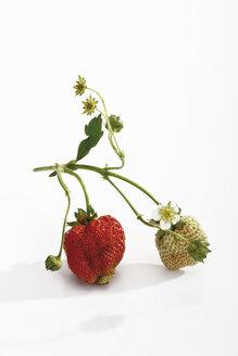 Wood strawberries, (Fragaria vesca) - 08789CS-U