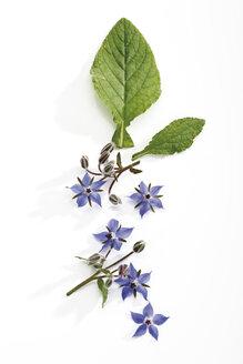 Flowering borage (Borago officinalis), elevated view - 08783CS-U