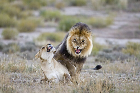Africa, Namibia, Lioness and lion in grass ((Panthera leo) - FOF00919