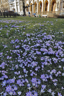 Germany, Bavaria, Munich, Early Crocus (Crocus tommasinianus) Building in background - MB00860