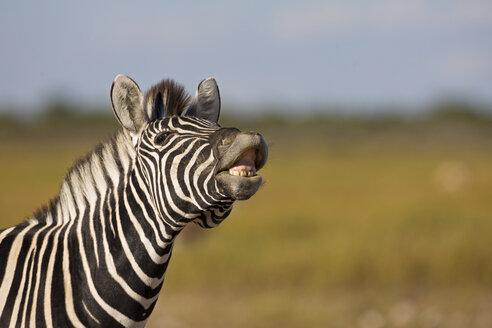Africa, Zebra (Equus quagga burchelli) neighing, portrait - FOF01107
