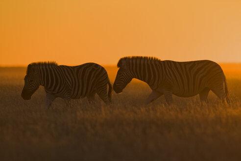 Africa,  Burchell's Zebra (Equus quagga burchelli) at sunset - FOF01104