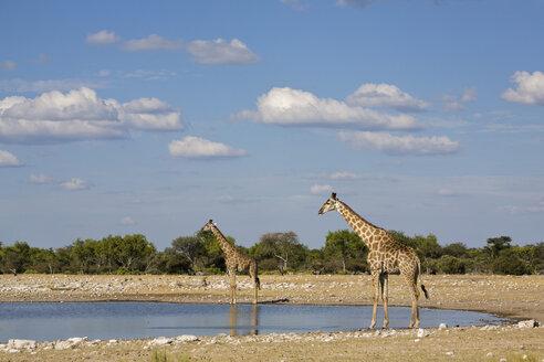 Africa, Namibia, Etosha National Park, Two Masai Giraffes (Giraffa camelopardalis tippelskirchi) at waterhole - FOF01098