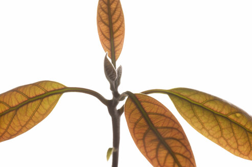 Avocado plant (Persea americana), close-up of leaves - THF00821
