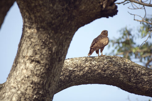 Africa, Cape Town, Falcon on tree - ABF00464