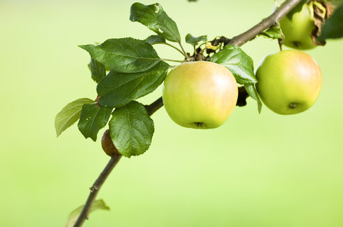Apples Growing on Tree, close-up - SMF00422